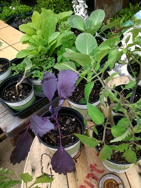 Non-GMO seedlings for sale at Grateful Plains Organics