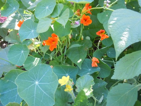 Nasturtiums in the garden attract pollinators with their bright blooms. Their blooms are also a great 'trap' for aphids which prefer this bloom over the neighboring veggies.