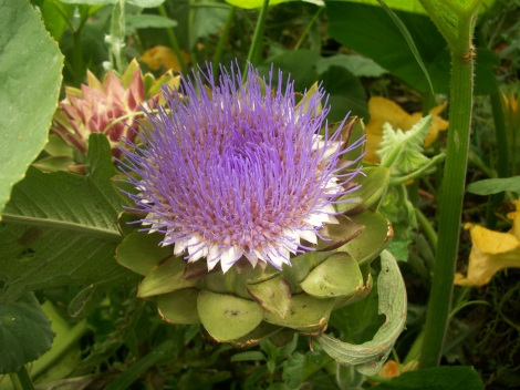 The Tavor Artichoke is an organic hybrid cultivated to be grown in the northern climates as an annual
