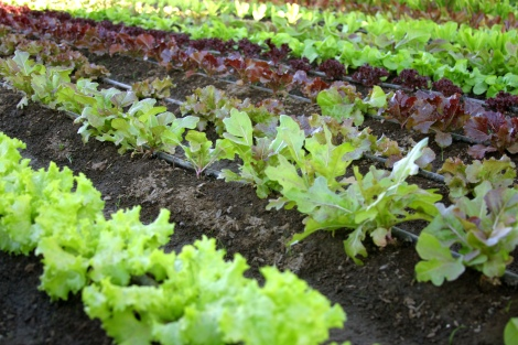 Lettuce and baby greens take just 14 days to grow and so if Mother Nature cooperates and our greenhouse efforts prevail, we may have an initial crop ready as early as the beginning of May! Sign up now to earn your crop share by making ten box purchases before May 1st, 2014