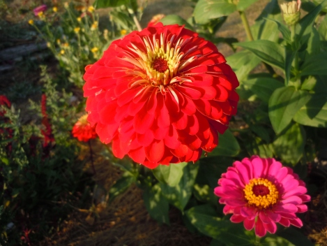 There are hundreds of varieties of zinnia available to plant and we will have them for sale at Grateful Plains as seed packs and as transplants!