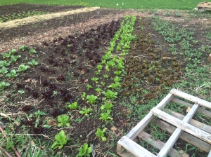 May 4th snapshot of the leaf lettuce field~ these seeds were sown indoors, nurtured with water twice a day while managing temperatures/humidity, then transplanted into the fields before Easter for an anticipated harvest for our first CSA basket on May 27th