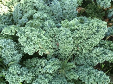 Westlander Kale
