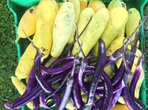 Ping tung Eggplant at Grateful Plains CSA