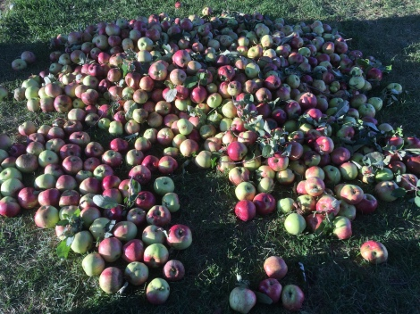 Our apple trees conquered the excessive wet, cold spring and produced quite tasty fruit despite battling fungus and rust like many other crops this season.