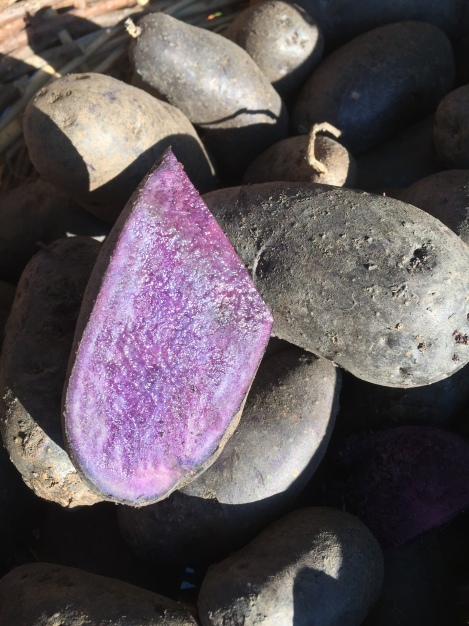 Magic Molly is a new organic breed created by Bill Campbell in Alaska that produces large fingerling tubers with a deep purple flesh that holds its color when boiled