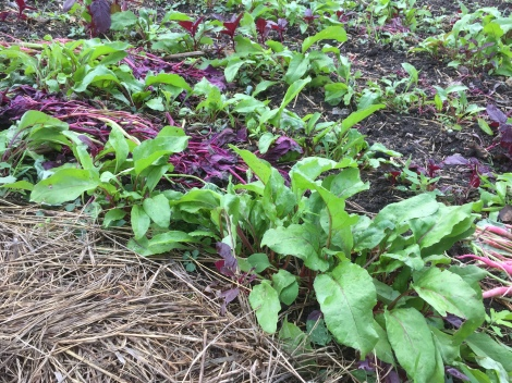 Beet greens coming up in the fall garden!
